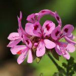fleur geranium